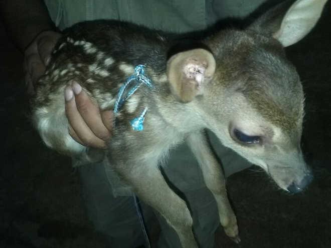 Filhote de veado é resgatado por bombeiros em Juína, MT