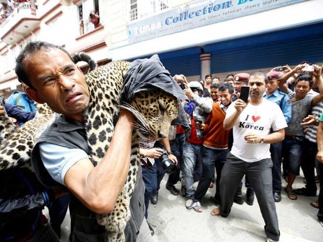 Leopardo é dopado e retirado de casa após se perder no Nepal