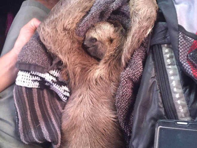 Com ajuda da internet, jovem resgata bicho preguiça na BR-316, no PA