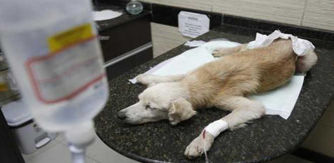 Cachorro cego e idoso é espancado, jogado em rede de esgoto, mas sobrevive e ganha nova vida