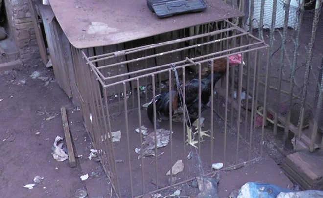 Polícia descobre rinha de galo no Brasmadeira, em Cascavel, PR