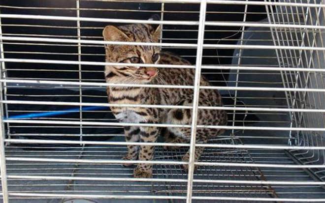 Polícia Ambiental resgata um gato maracajá em escola municipal de Ponta Grossa, PR
