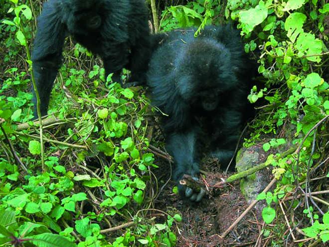Gorilas aprenderam a desmontar armadilhas dos caçadores