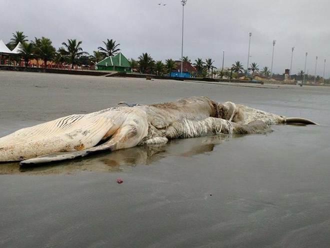 Baleia com mais de 13 metros aparece morta em praia de Peruíbe, SP