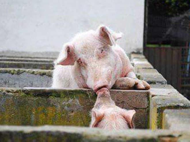 Porcos se 'beijando' em uma fazenda mostra a verdadeira profundidade emocional desses animais