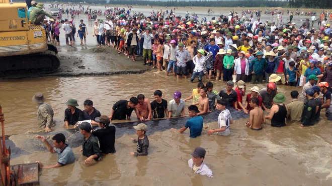 Grupo incrível de pessoas se une para resgatar baleia de 15 metros encalhada no Vietnã