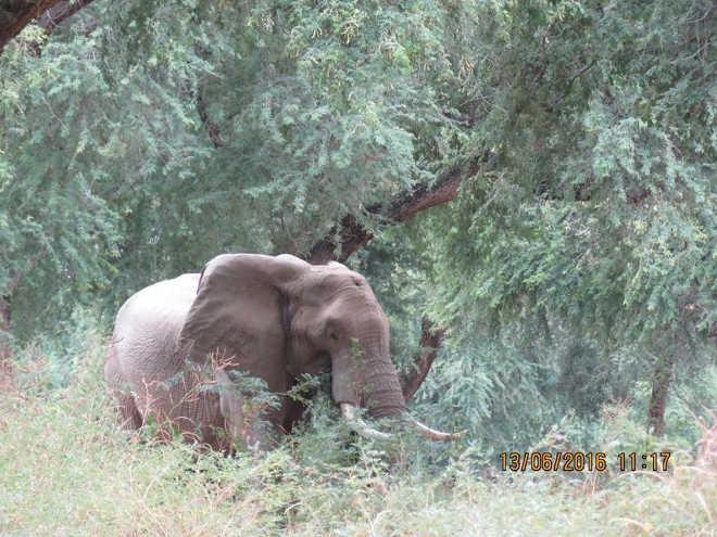 Elefante que levou um tiro na cabeça caminha até um caminhão para pedir ajuda