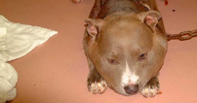Cão fica deformado por causa de coleira e tem recuperação incrível