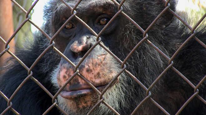 O documentário 'Unlocking the Cage' pergunta por que as corporações podem ter o status de 'pessoa', mas animais inteligentes não