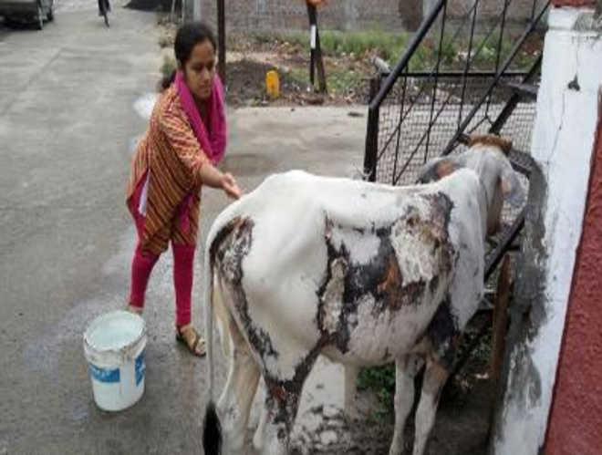 Ataque de ácido a vaca e bezerro em Indore gera revolta