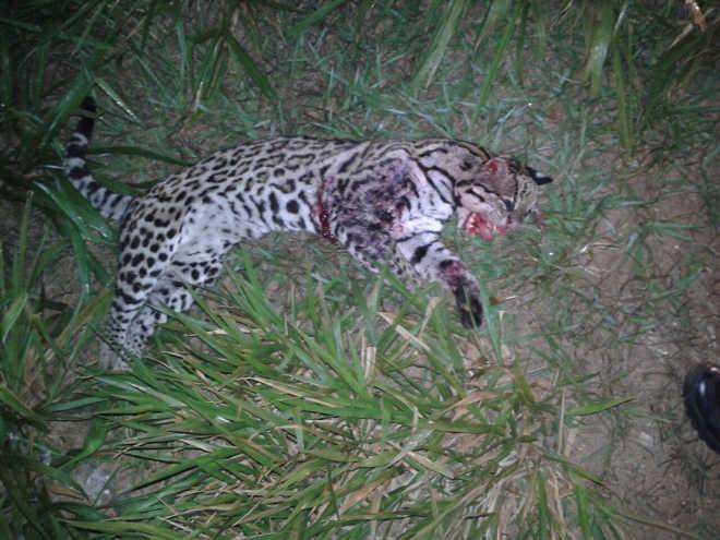 Jaguatirica é encontrada morta em rodovia de MS
