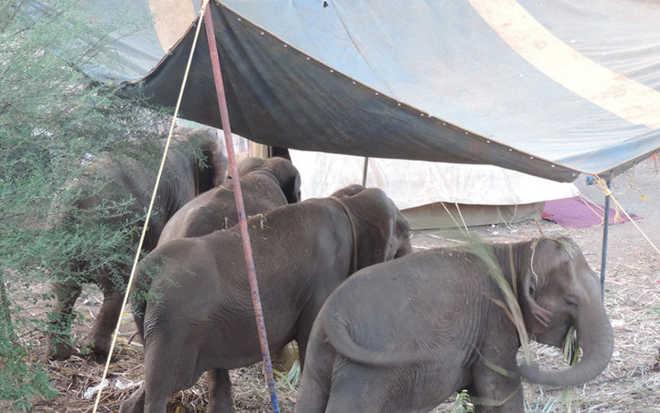 Quatro elefantes resgatados de circo na Índia terão que retornar à escravidão sob a grande tenda