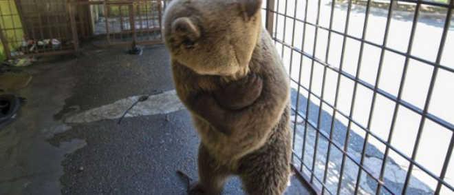 Urso enjaulado que abraça a si próprio por estresse vai ser resgatado de restaurante