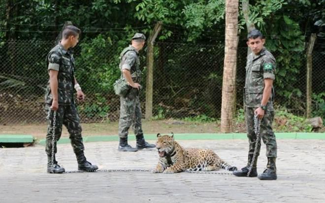 Exército será multado em R$ 40 mil por morte de onça Juma, diz Ipaam