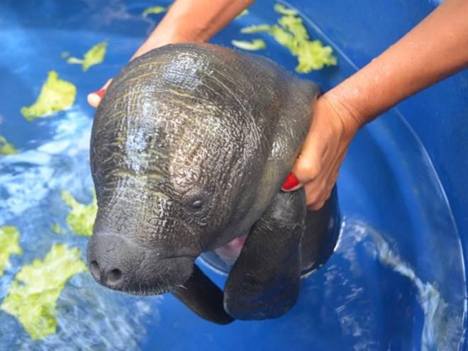 Peixe-boi resgatado no rio Amazonas pode ser levado para instituto no Pará