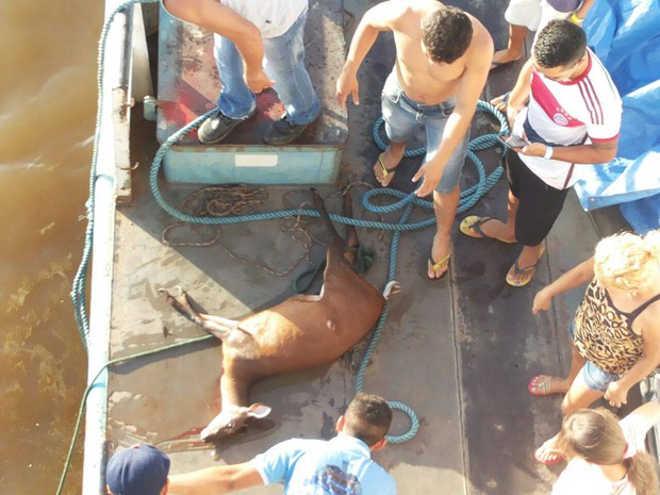 Imagens flagram veado sendo morto em rio do Amapá; caça é proibida