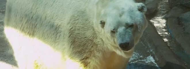 Morre o último urso polar em cativeiro na Argentina