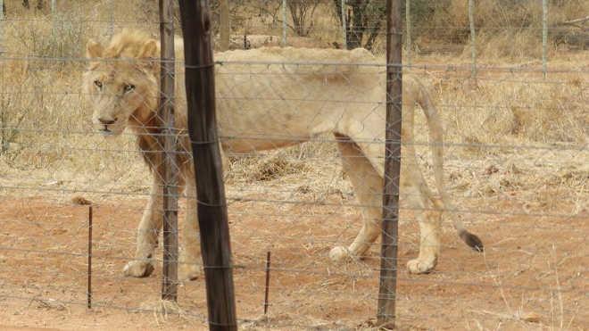 Fotos mostram leões morrendo de fome em fazenda de criação de pesadelos