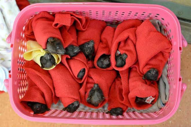 Estes filhotes de morcego foram salvos do congelamento
