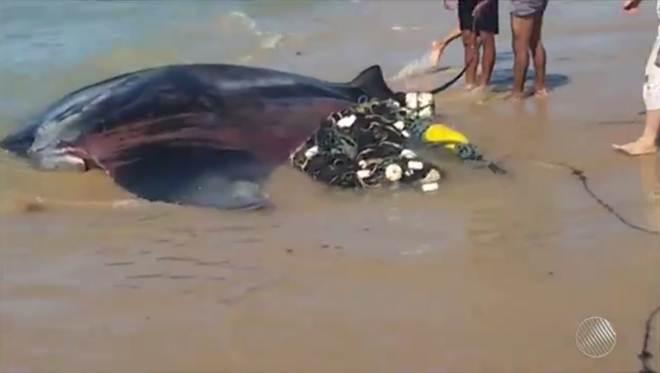 Arraia-jamanta fica presa em rede de pesca e é devolvida ao mar em Mucuri, BA