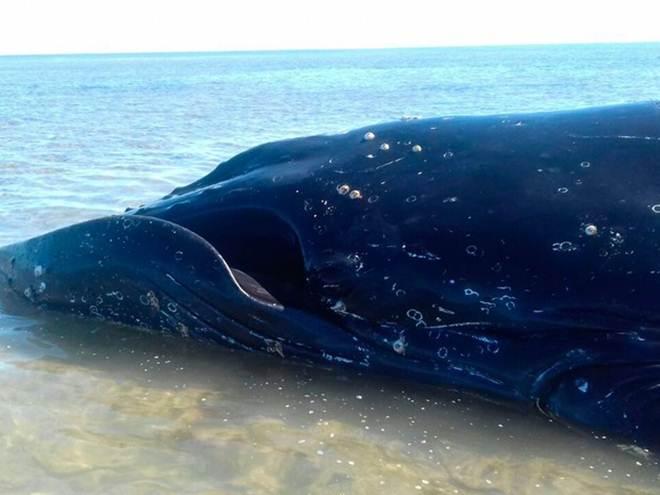 Baleia jubarte encalha e equipe tenta resgate em recife no sul da Bahia