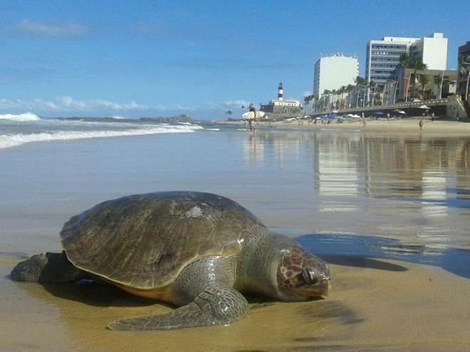 Tartaruga morta é retirada do mar por surfistas na Barra, em Salvador