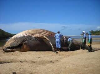 Costa brasileira tem recorde de baleias encalhadas e mortas