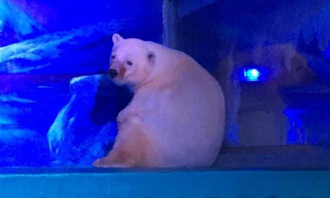 """Lançada petição online para salvar das selfies o urso """"mais triste do mundo"""""""
