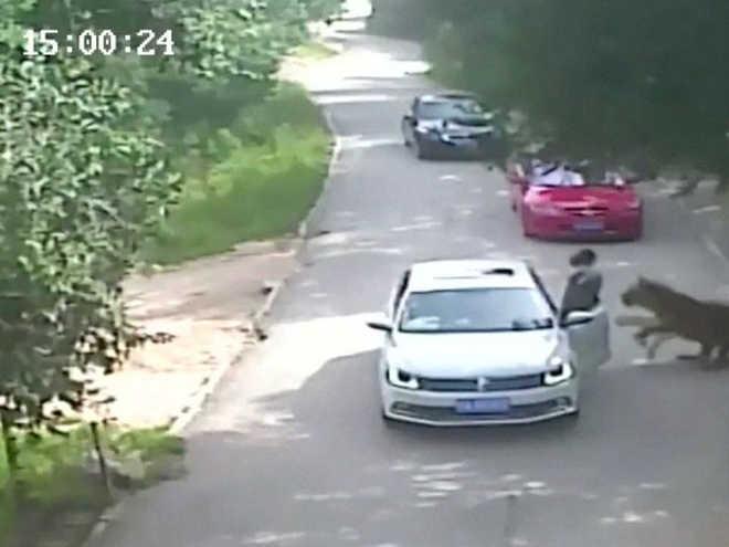 Vídeo: Ataque de tigre mata visitante de parque na China