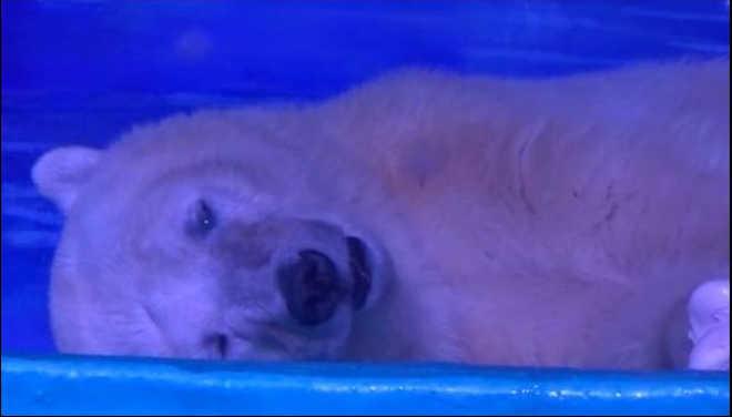 Urso polar é preso em shopping para 'selfies' na China; assista