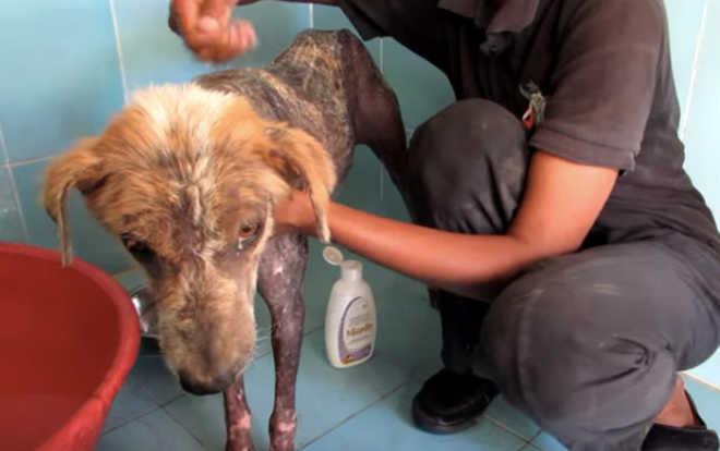 Esta cachorra de rua estava morrendo com sarna, mas sua cauda nunca parou de abanar