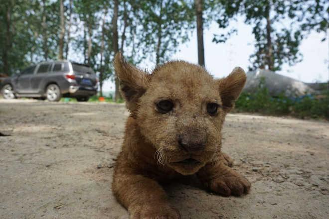 Leões de circo espancados e mantidos em jaulas imundas, nova filmagem mostra