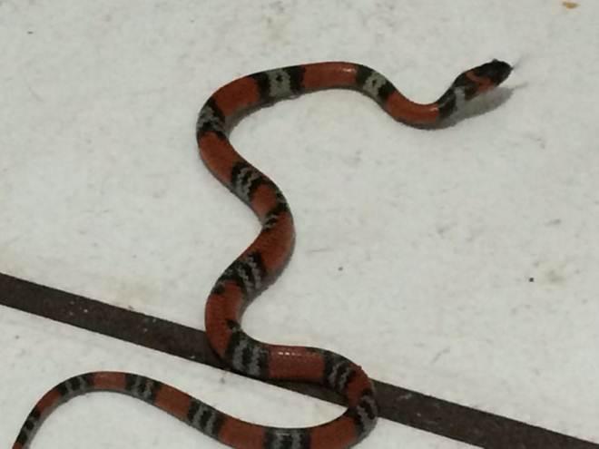 Cobra é resgatada em posto do Na Hora, em Sobradinho, DF