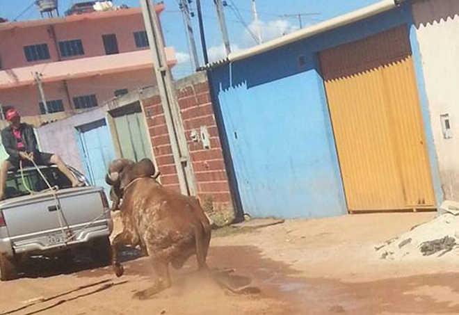 Entidade protetora de animais procura boi maltratado em Ceilândia, DF