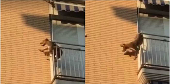 Cão deixado ao sol e sem água salta de varanda e é salvo por vizinhos; vídeo