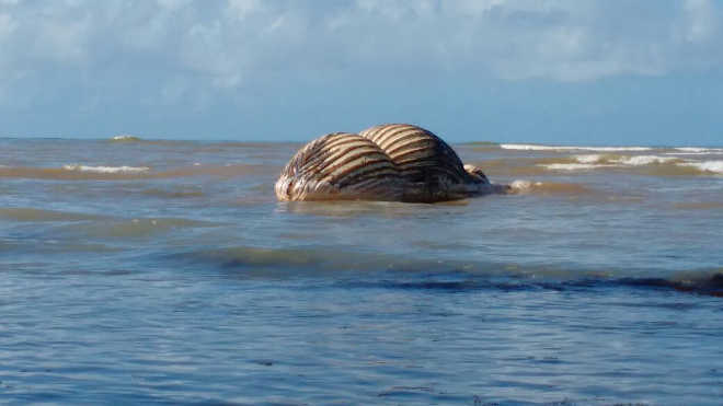 Baleia em extinção é encontrada morta na orla de Aracruz, ES