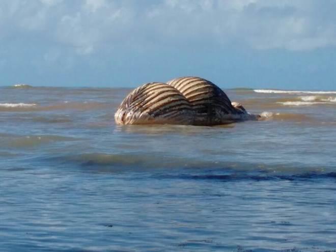 Baleia é retirada de Aracruz (ES) e exame comprova morte por rede de pesca