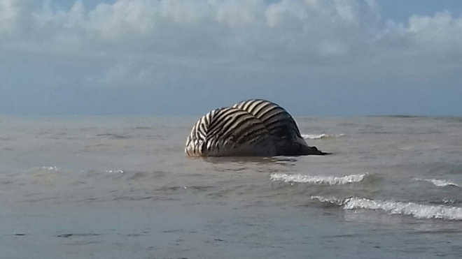 Espírito Santo é o segundo com mais mortes de baleias-jubarte