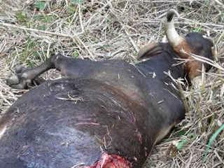 Animais definham e morrem infestados por carrapatos na fazenda do Incaper em Linhares, ES