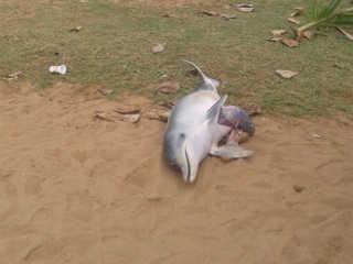 Golfinho é encontrado morto em areia da Praia da Costa, em Vila Velha, ES