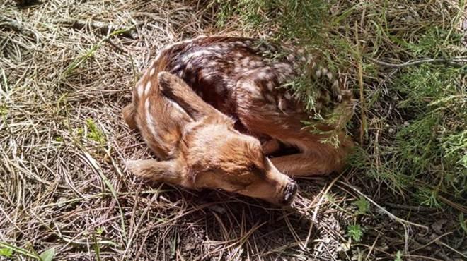 """Filhote de cervo é sacrificado após ser """"resgatado"""" por dupla nos EUA"""