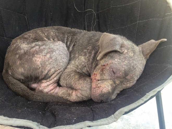 Cachorro deixado amarrado do lado de fora de uma loja está completamente irreconhecível agora