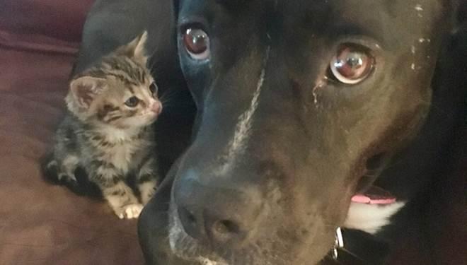 Pit bull está completamente obcecada pela sua nova gatinha