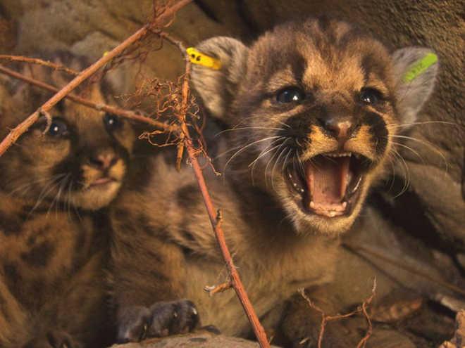 Filhotes de leão da montanha são encontrados perto de Los Angeles, EUA