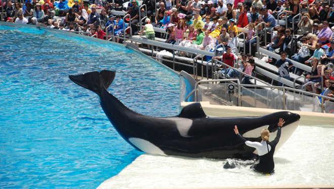 O SeaWorld transforma o 4 de julho em tormento para suas orcas