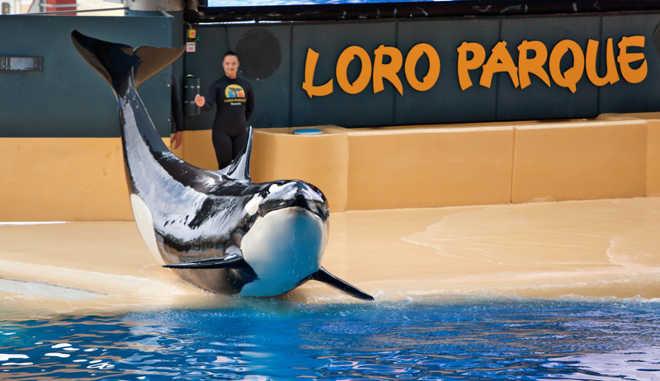 Dentes quebrados e mentes destruídas – Avaliando o bem-estar das orcas em cativeiro