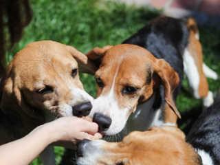 Linda foto captura o momento que beagles explorados em laboratório ganham petiscos pela primeira vez