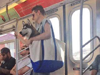 Tutor chama a atenção ao levar cão de grande porte em bolsa no metrô