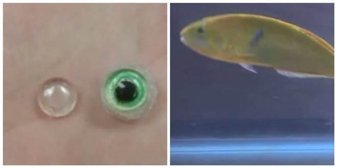 Peixe com catarata ganha prótese ocular e volta a viver bem com colegas de aquário nos EUA