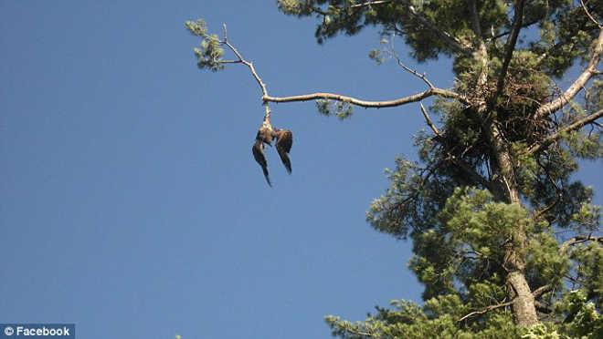 Veterano de guerra resgata águia-americana presa em árvore de 22 metros de altura
